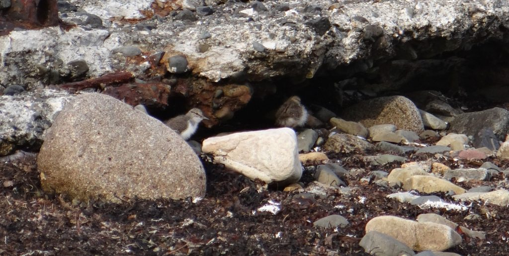 Two Common Sandpiper chicks keeping a low profile