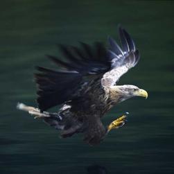 swooping sea eagle