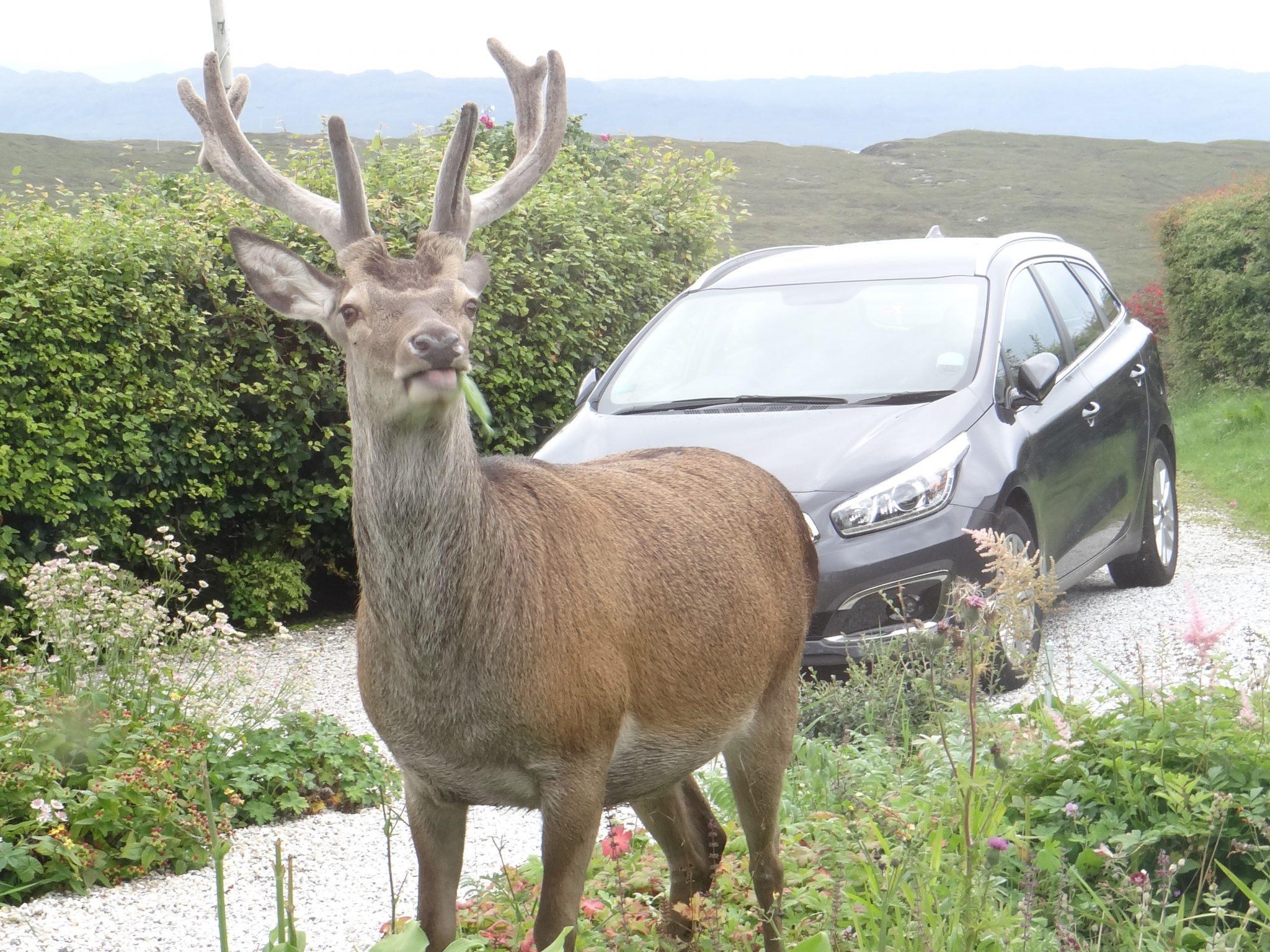 Red deer stag snacking in the garden at Springbank Elgol Isle of Skye